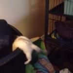 Un furet qui tombe dans une poubelle.