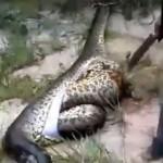 Le dernier repas de ce serpent est incroyable