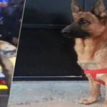 'Akil', un chien appartenant à la brigade 'canines' mort en héros lors de l'opération du Bardo