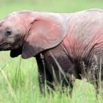 Eléphant rose, découverte du premier éléphant dépigmenté