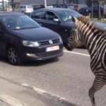 Des zèbres galopent dans les rues de Bruxelles