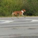 Un chien parcourt 60 kilomètres pour retrouver son « maître » à l'hôpital