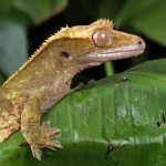 Quand le gecko glisse, c'est pour être plus véloce