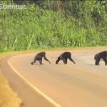 Ces chimpanzés traversent la route avec un bon réflexe