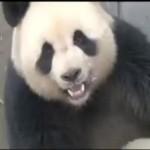 Les pandas amants: la sextape qui enflamme le Web