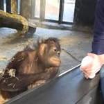 Fou rire d'un orang-outan devant un tour de magie