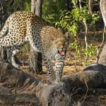 Un léopard sème la panique dans un village indien et blesse trois personnes