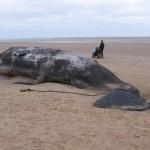 12 cachalots s'échouent sur des plages en Allemagne et aux Pays-Bas.