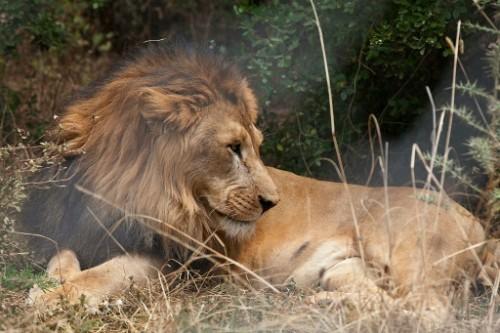 Un lion d'Abyssinie, en Ethiopie, recueilli par la fondation Born Free, le 18 février 2015 © AFP/Archives ZACHARIAS ABUBEKER - See more at: http://www.goodplanet.info/actualite/2016/02/02/animaux-des-lions-decouverts-par-des-scientifiques-dans-un-parc-ethiopien-recule/#sthash.QKNqGGnM.dpuf