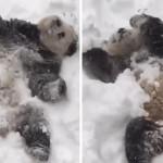 Un Panda qui s'amuse dans la neige