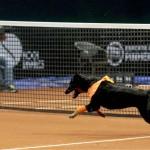 A l'Open du Brésil, les ramasseurs de balles remplacés par des chiens