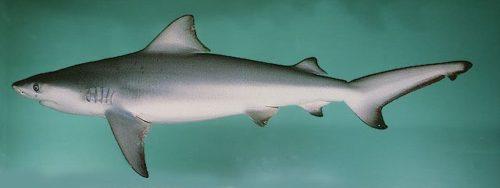 requin_bouledogue-top10