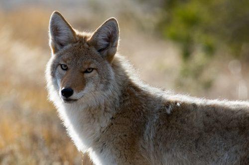 coyote-1480717_960_720
