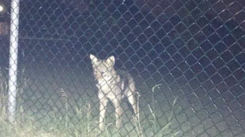 L'utilisatrice Facebook Julie Taylor a publié le 7 juillet 2016 cette photo d'un coyote qui aurait attaqué son chien de compagnie près du parc Ecclestone, à Kirkland. PHOTO : FACEBOOK/KIRKLAND VOICE