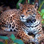 Un jaguar s'évade et tue six animaux