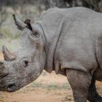Kenya: Hécatombe de rhinocéros noirs, un dixième animal est mort