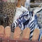 Un zoo aurait peint un âne en zèbre!