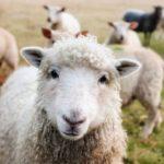 Les animaux de ferme souffrent aussi de la canicule