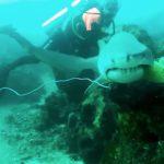 Le spectaculaire sauvetage d'un requin-taureau