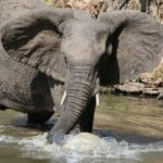 Un éléphant vient protéger son maître