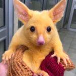 Pikachu existe réellement: il a été découvert en Australie