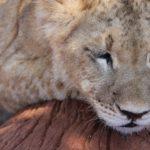Non, un lionceau n'est pas un animal de compagnie