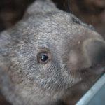 Wombat : pourquoi fait-il des crottes carrées ?