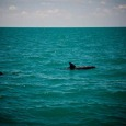 Dolphins being seen near Key West.