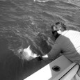 Permit being released from a shallow wreck.