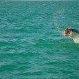 A Key West Tarpon jumping