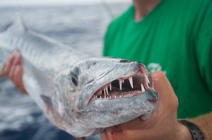 Barracuda caught off the reef in Key West.