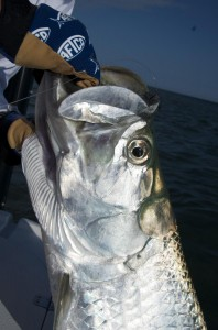 Tarpon being landed by Capt. Kelso