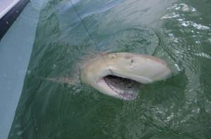 Shark fishing near Key West
