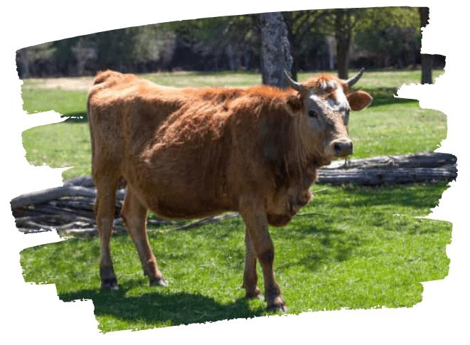 Alpenblick farm grass fed beef cattle