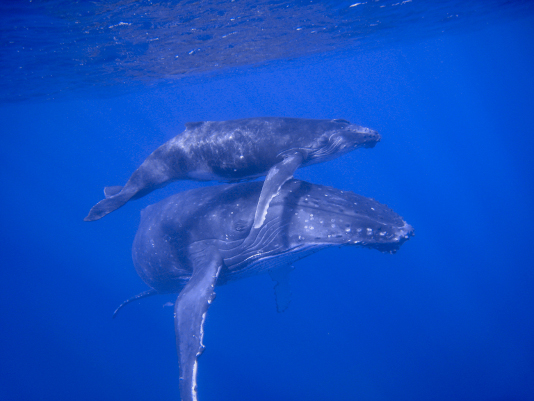 Tonga Whale Conference will discuss WHS