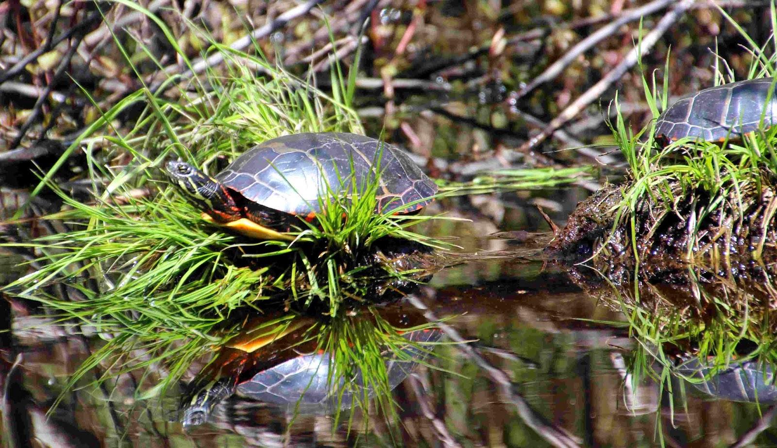 henne-turtles