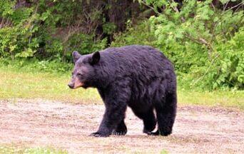 Black Bear Sighting In North Stonington