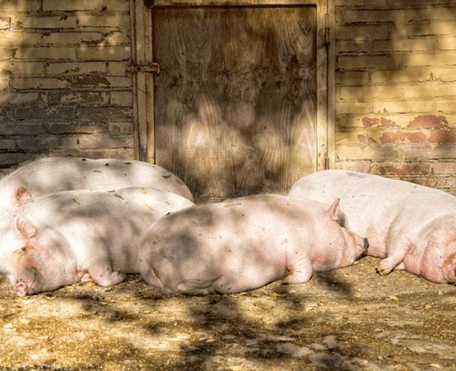 Drunk-Hogs-640x520