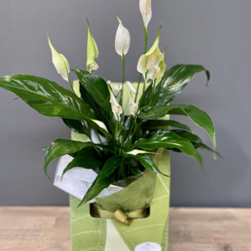 Madonna Lilly plant gift