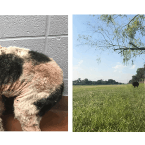 mange dog treatments before and after