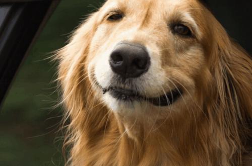 uber pet dog in car