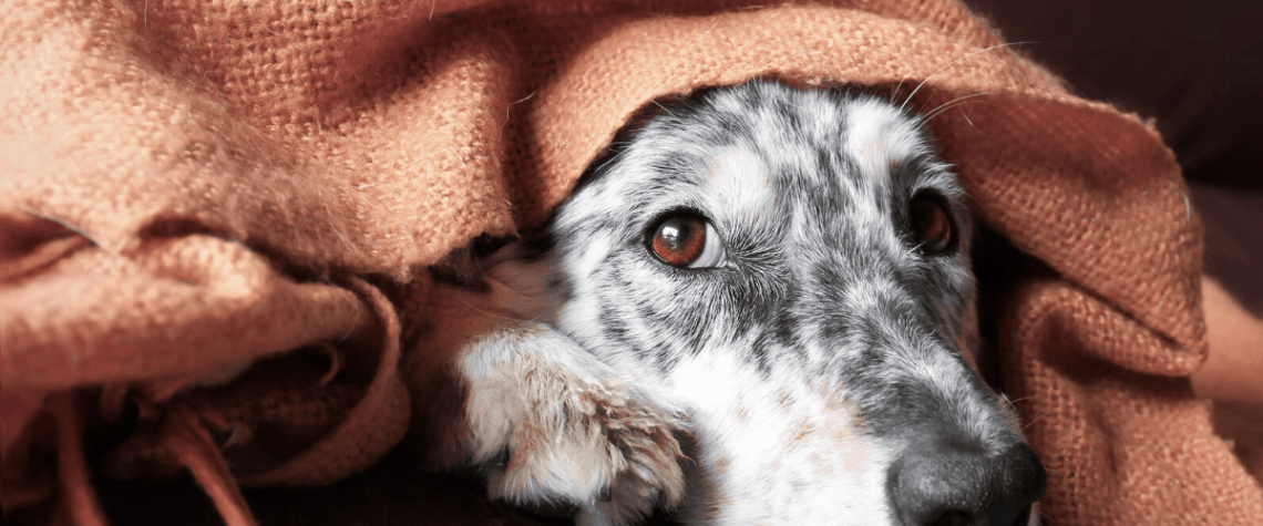 black and white hound dog on couch with blanket over head