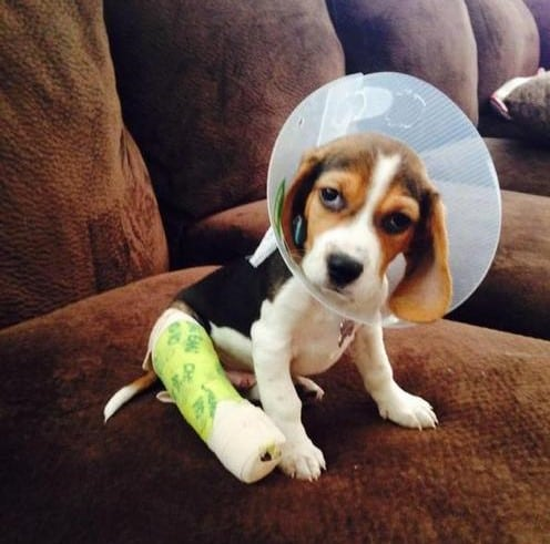 injured puppy with broken leg wrapped in gauze and tape.