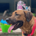 dog birthday party dog pool party dog with birthday crown