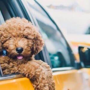 houston pet taxi dog taxi transport dog uber duberdogs