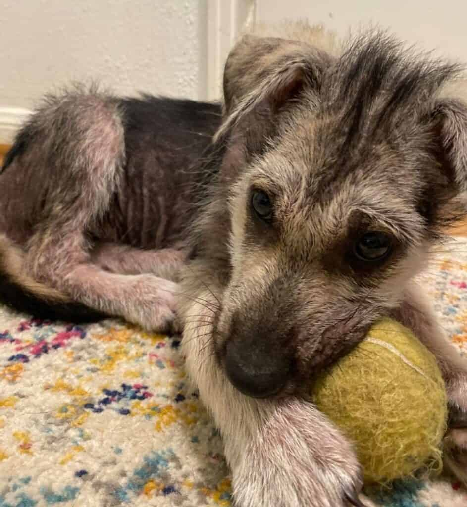 german shepherd foster puppy with tennis ball