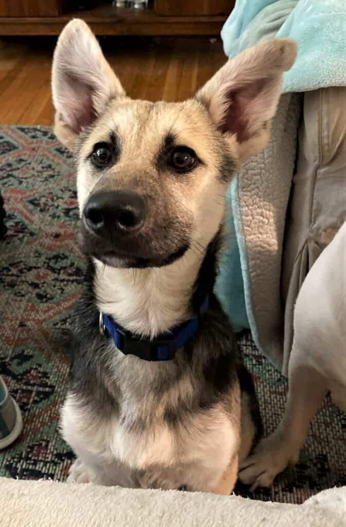 wylie german shepherd puppy.