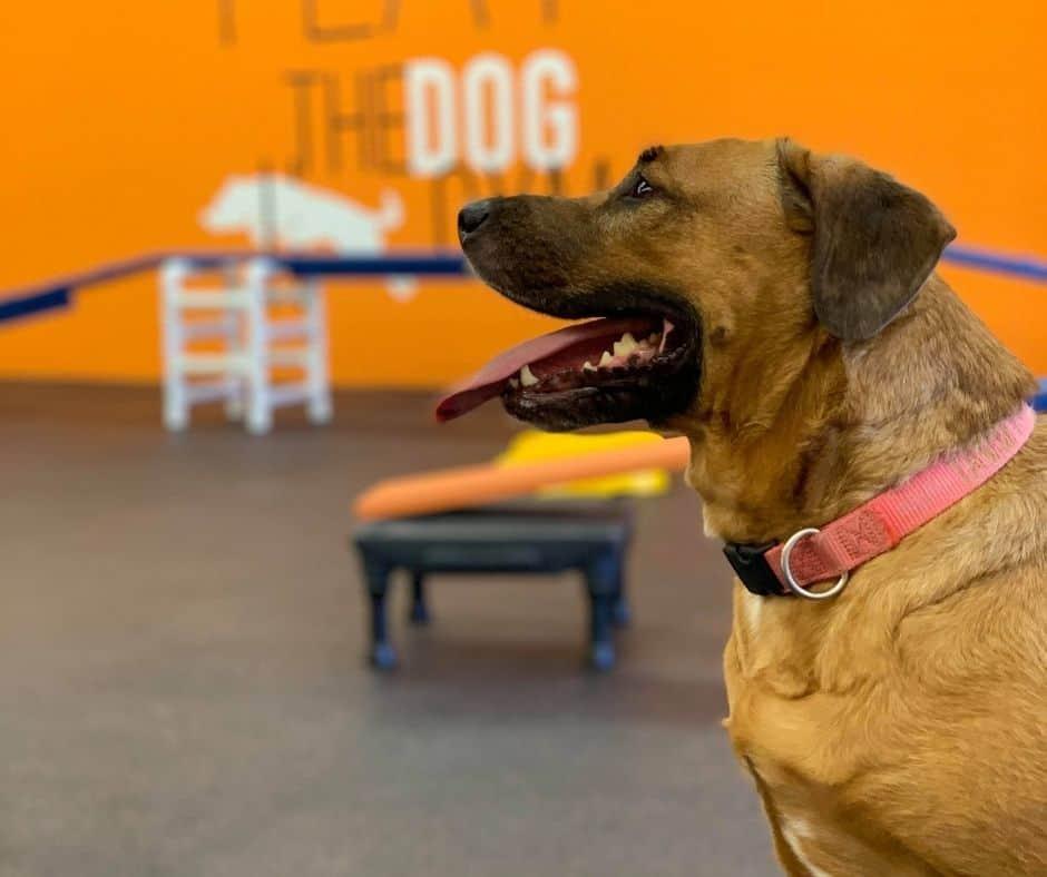 the dog gym indoor dog park
