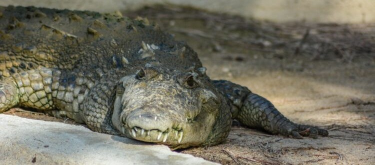 save the new river croc 750