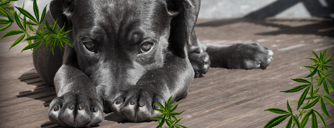 Cannabis and Pets